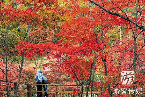 每逢金秋,辽宁远山近谷的红枫,枫叶如丹,红透千山,有的灿灿如醉金